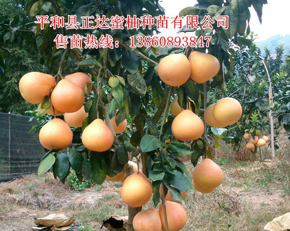 平和正达大三红蜜柚苗--品种最正宗的蜜柚苗木基地丨正宗三红蜜柚苗出售点