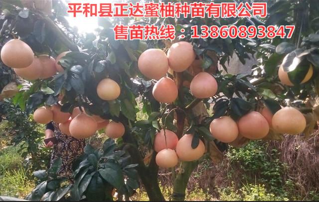 高产早熟大三红蜜柚树苗丨三红蜜柚苗适合哪些地区种植丨湖南红中红蜜柚苗培育