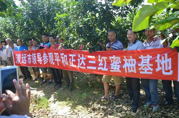 购买三红蜜柚苗还是选择平和正达蜜柚苗场有保障丨一亩地种植几棵柚子苗