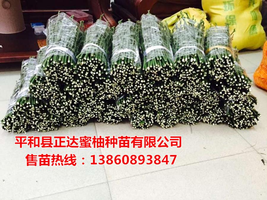 大三红蜜柚苗枝条丨贵州三红蜜柚嫁接枝条上哪买去丨正宗蜜柚枝条