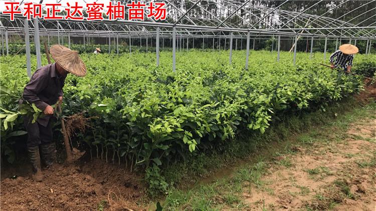 福建三红蜜柚果苗适应性强,红心蜜柚果树种植成活率高