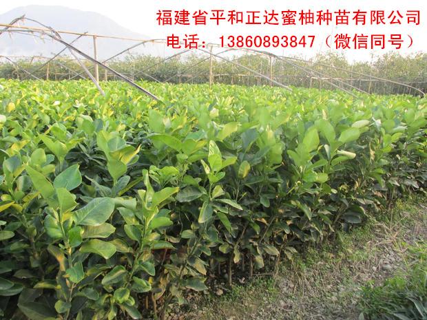 在网上买三红蜜柚苗就找福建正达蜜柚苗场, 分享三红蜜柚苗种植技术
