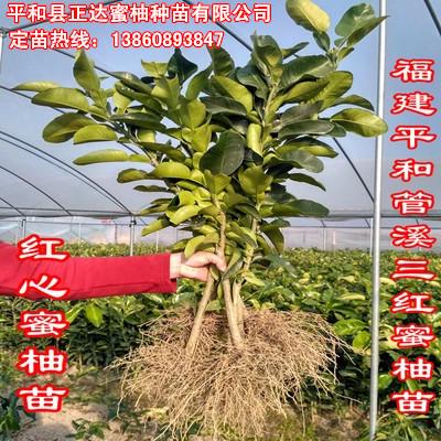 根系发达的三红蜜柚苗,福建三红蜜柚苗,好品种价格低+选三红蜜柚苗