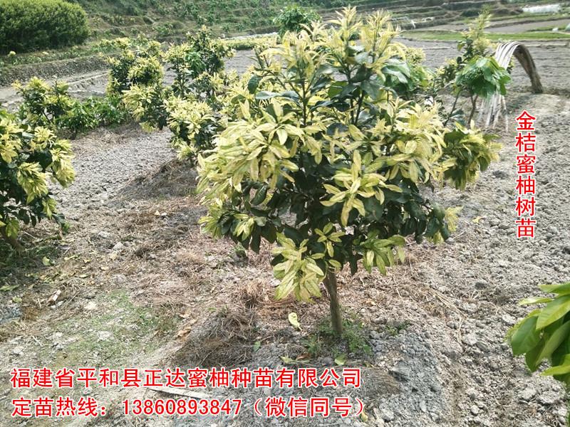 贵州抗寒能力强蜜柚树苗,金黄蜜柚苗|柚子苗