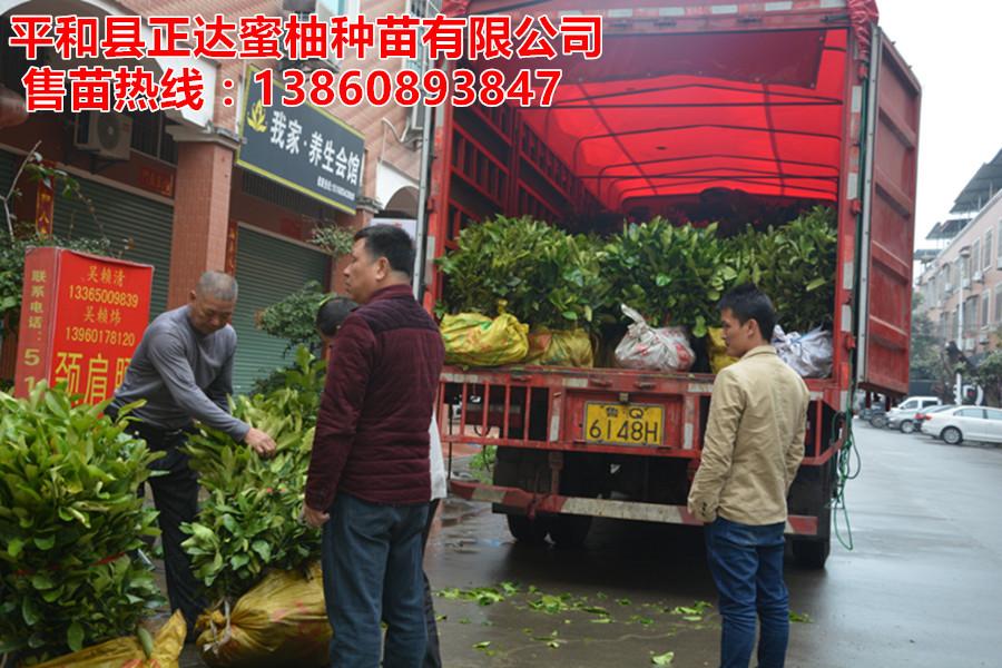 平和黄心柚子苗基地直销,平和黄肉蜜柚苗批发销售