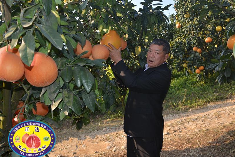 供应广西超值的黄心蜜柚苗丨产量好的金桔蜜柚苗哪里有
