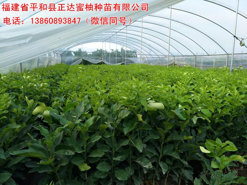 客户优选红心蜜柚苗木丨湖南红肉蜜柚苗的抗逆性强