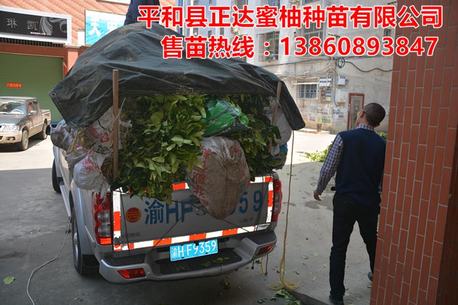 贵州红肉蜜柚苗打包发货丨红心蜜柚种植|红心蜜柚苗要哪里买