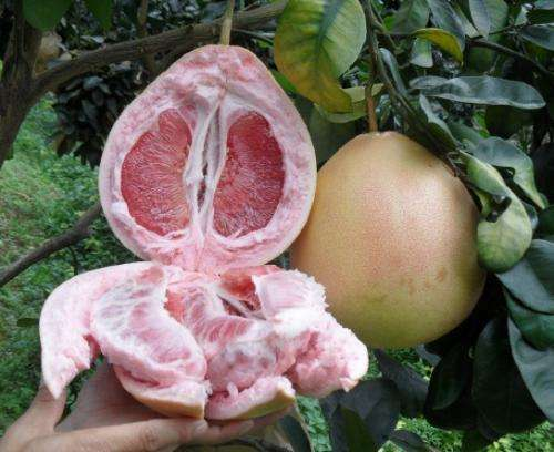 贵州三红蜜柚苗的种植技术丨贵州哪里有两年生三红柚子苗