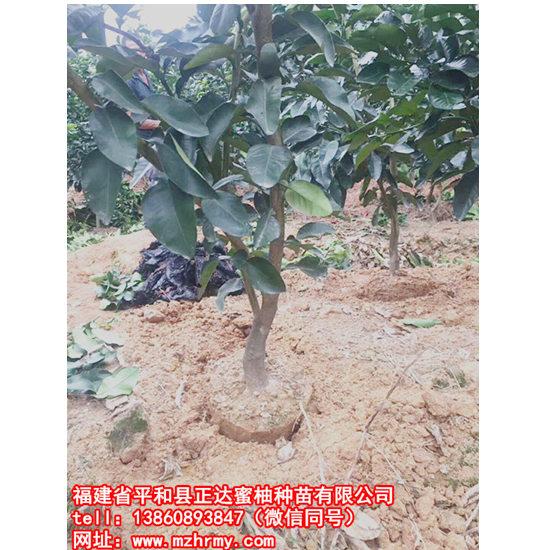 贵州哪里有带土球红肉蜜柚苗木丨隔年就挂果的红心蜜柚苗多少钱一棵