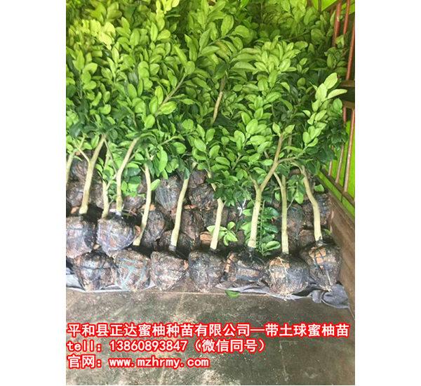 贵州客户来取三红蜜柚苗(带土球三红蜜柚果树苗)丨哪一家的三红柚子苗比较纯正