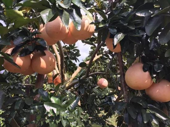 贵州三红柚子苗种植基地,贵州红心蜜柚苗多少钱一株丨正宗三红蜜柚苗