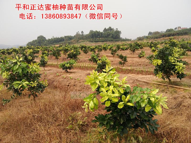 哪里有出售嫁接金桔蜜柚苗,金黄蜜柚苗价格是多少