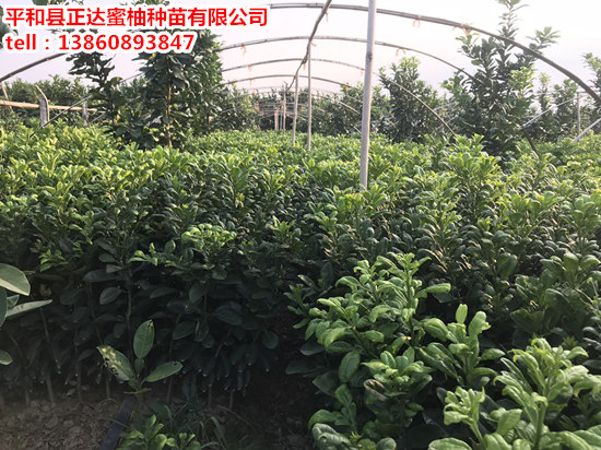 出售泰国红宝石青柚苗