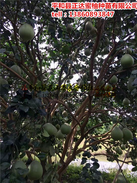 泰国红宝石青柚苗哪里有供应