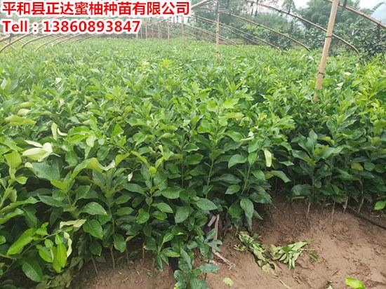 泰国青柚苗出售_泰国青柚苗哪里买正宗
