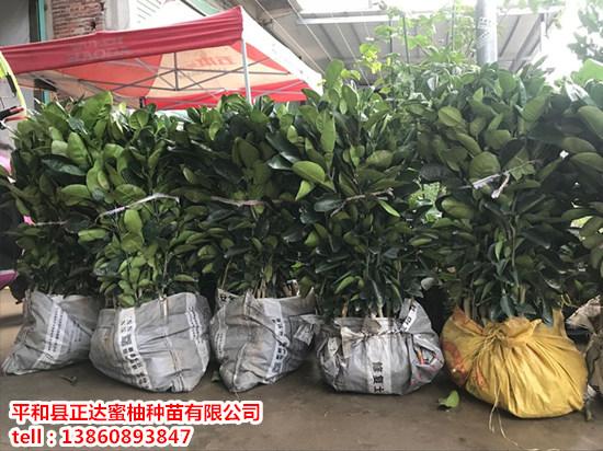 国内哪里有卖泰国青柚苗_优质泰国青柚树苗