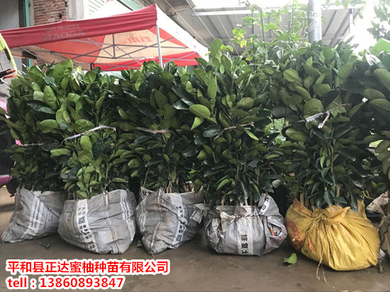 哪里有出售泰国青柚苗|福建正宗泰国青柚苗