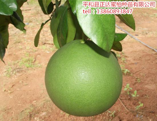 哪里有出售泰国青柚苗