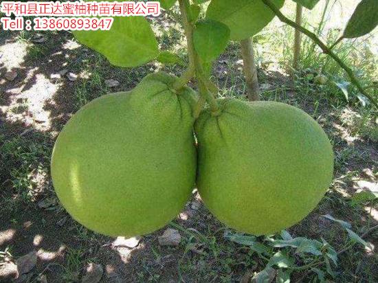 泰国红宝石青柚苗多少钱一棵_红宝石青柚苗报价