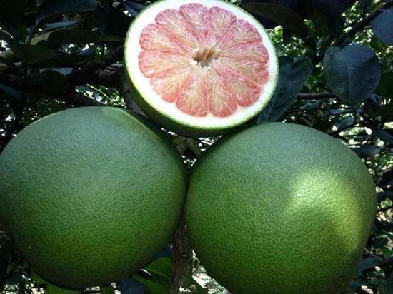 优质泰国青柚苗在哪里可以找到