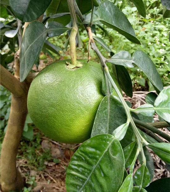 泰国青柚苗南北方种植,新品种青皮柚子苗