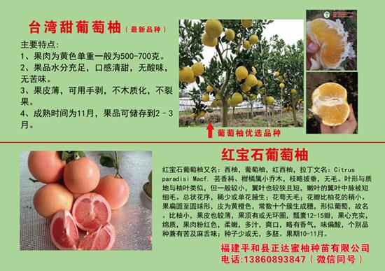 台湾红宝石葡萄柚苗管理准则_优质葡萄柚苗出售