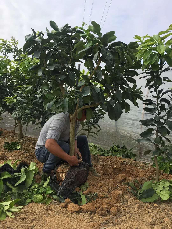 大三红蜜柚果树带土球