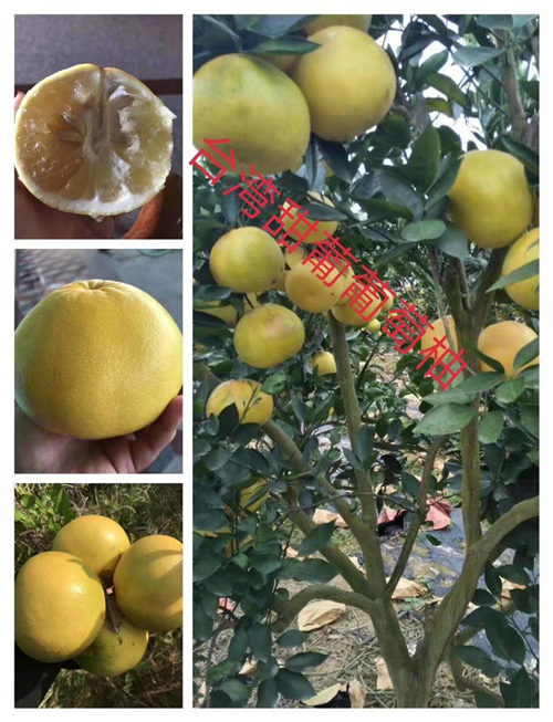 台湾甜葡萄柚苗