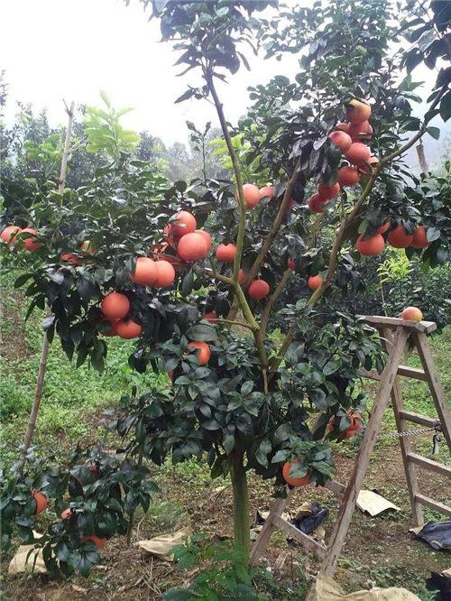 红宝石葡萄柚苗