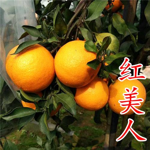 爱媛38号(红美人柑橘苗)