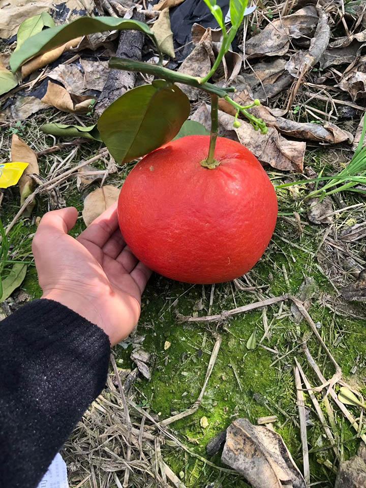 南瓜红柚苗