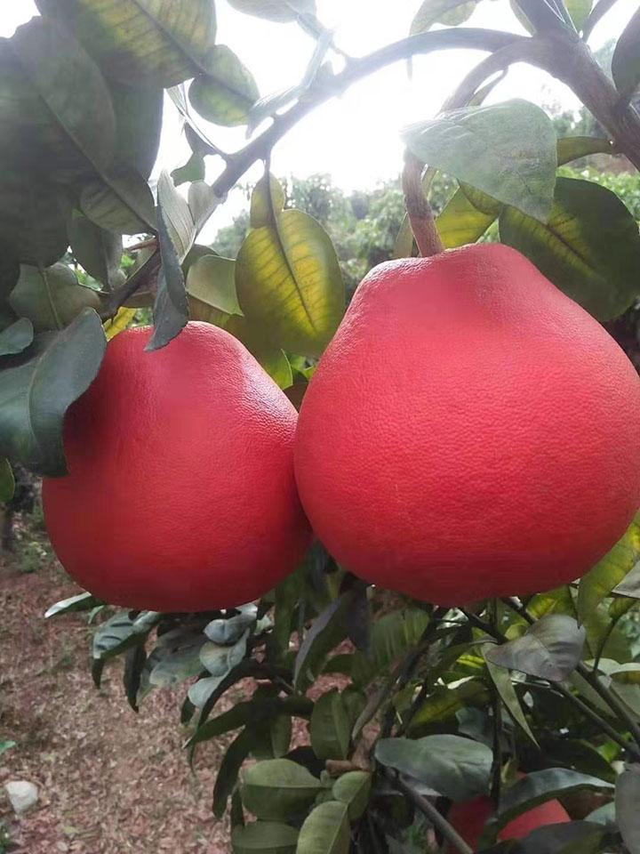泰国暹罗红柚苗