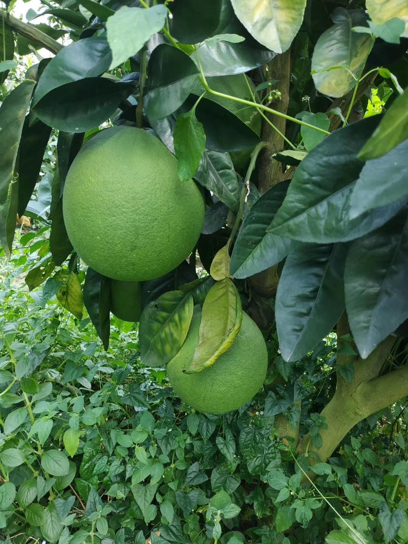 青皮红心蜜柚苗哪里有|泰国青柚苗哪里有