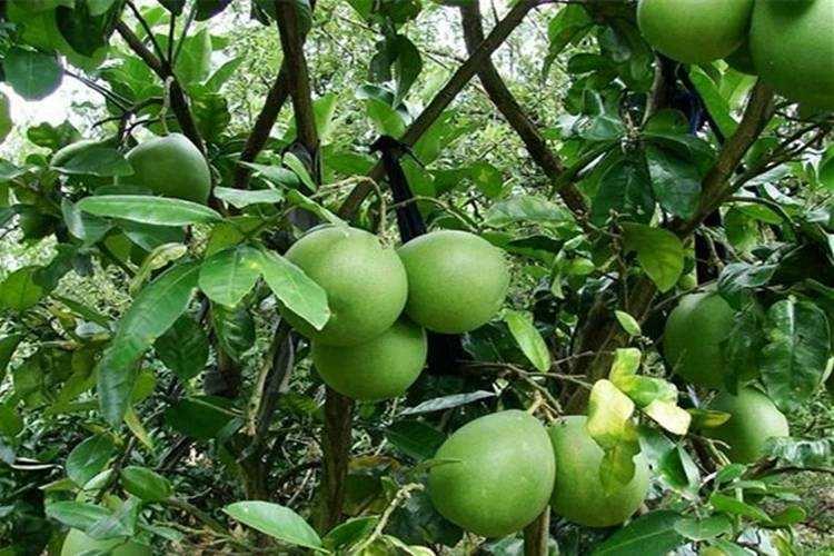 泰国青柚苗种植条件_福建正宗泰国青柚苗销售