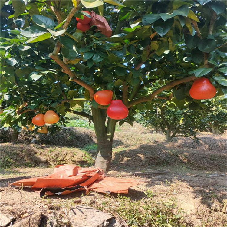 泰国暹罗红柚苗1